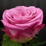 New Aqua Rose d'Equateur Ethiflora